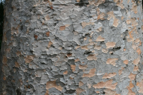 Melbourne botanic gardens tree bark